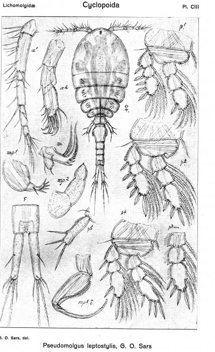 Pseudomolgus leptostylis from Sars, G.O. 1918
