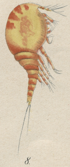 Westwoodia nobilis from Brian, A 1921