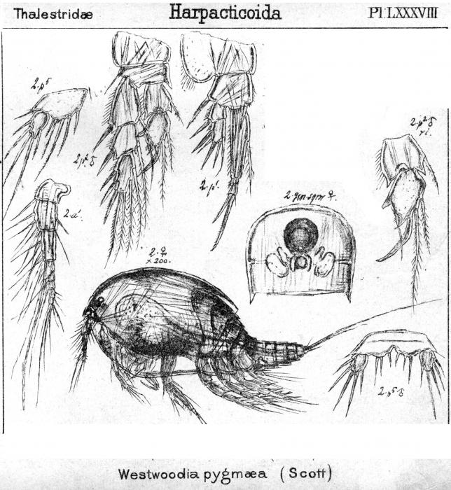 Westwoodia pygmaea from Sars, G.O. 1906