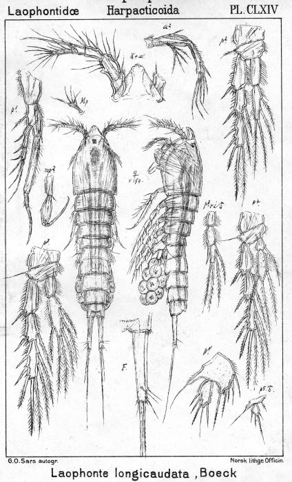 Laophonte longicaudata from Sars, G.O. 1908