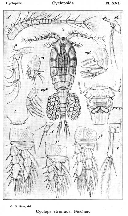 Cyclops strenuus from Sars, G.O. 1913
