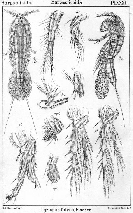 Tigriopus fulvus from Sars, G.O. 1904