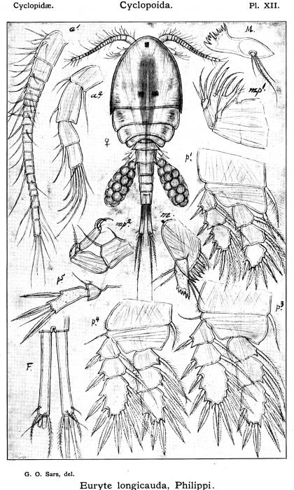 Euryte longicauda from Sars, G.O. 1913