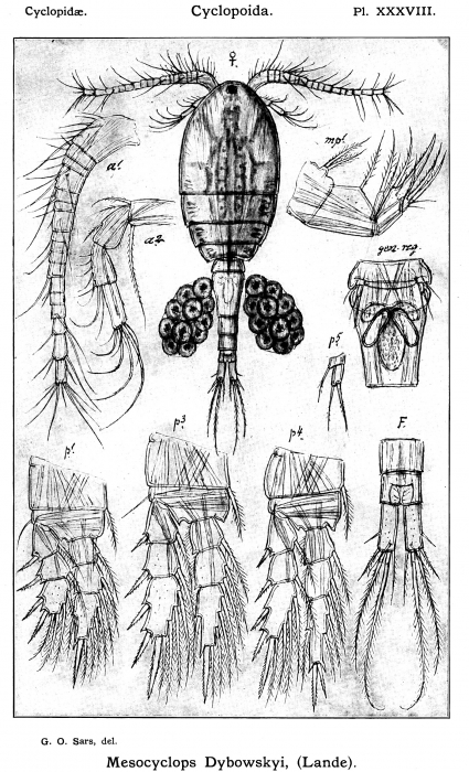 Mesocyclops dybowskii from Sars, G.O. 1914
