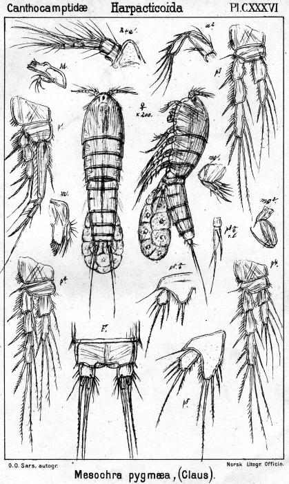 Mesochra pygmaea from Sars, G.O. 1907