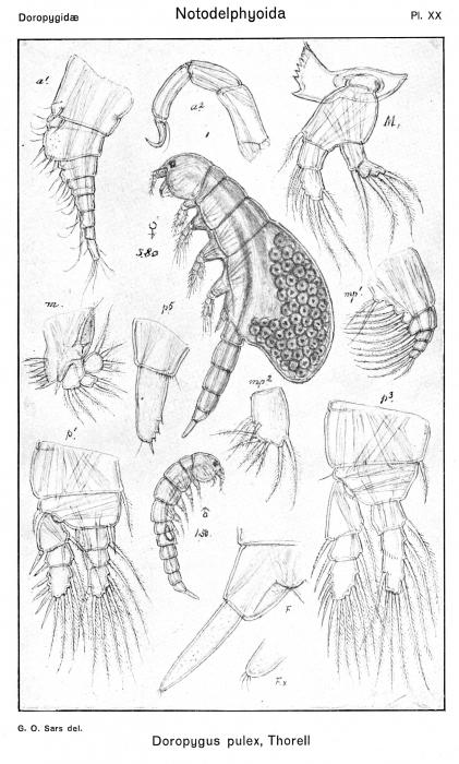 Doropygus pulex from Sars, G.O. 1921