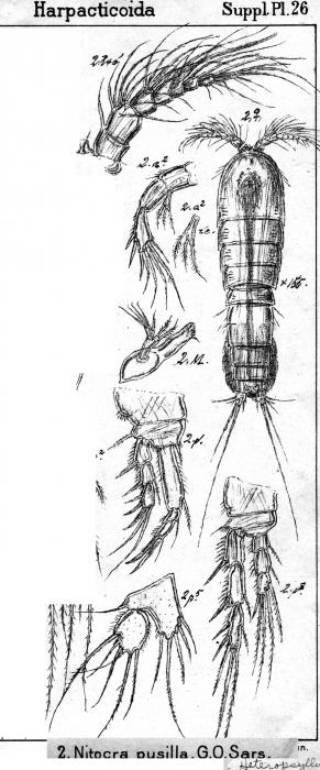 Nitokra pusilla from Sars, G.O. 1911