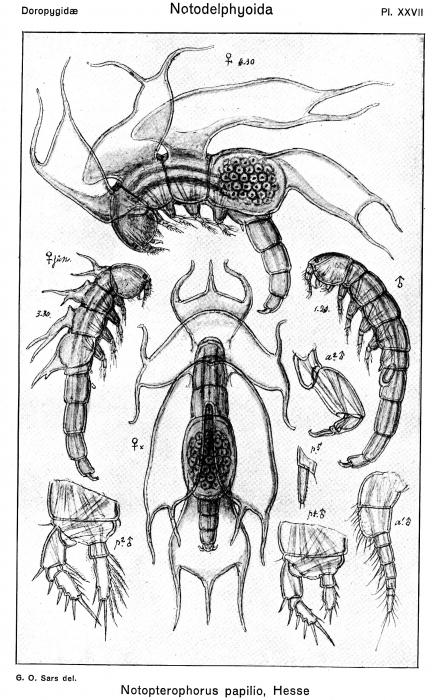 Notopterophorus papilio from Sars, G.O. 1921