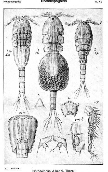 Notodelphys allmani from Sars, G.O. 1921