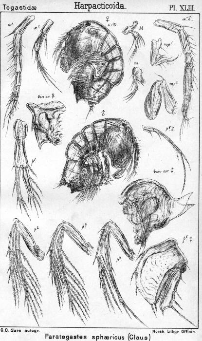 Porcellidium fimbriatum from Sars, G.O. 1904
