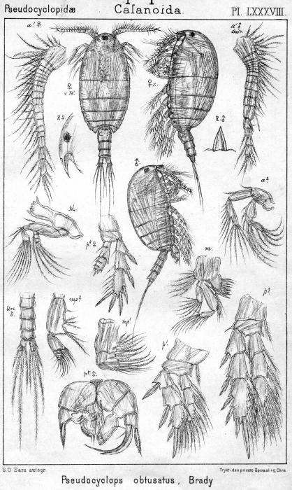 Pseudocyclops obtusatus from Sars, G.O. 1902