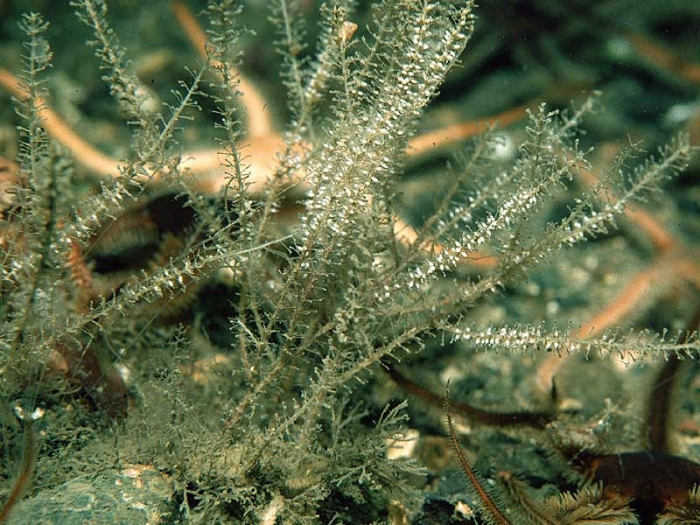 Rhizocaulus verticillatus (Linnaeus, 1758)