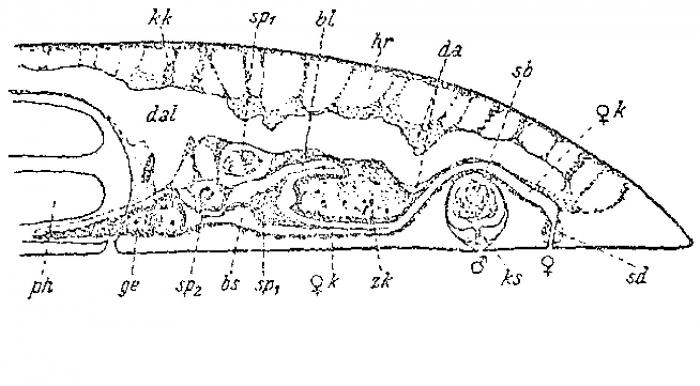 Pseudomonocelis agilis