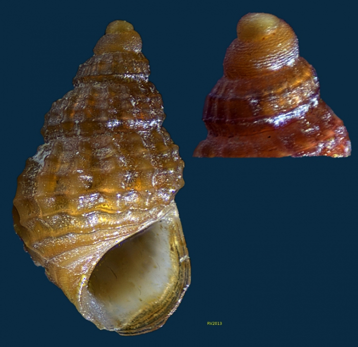 Alvania lanciae (Calcara, 1845)
