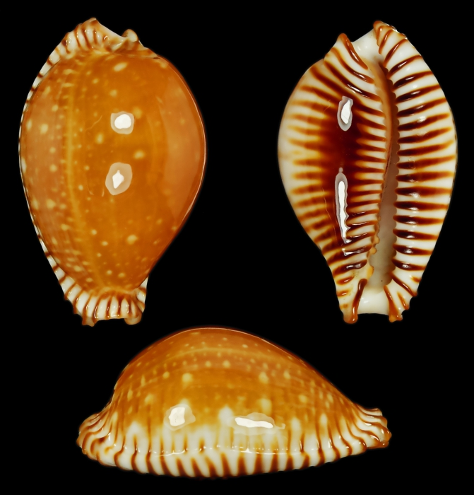 Perisserosa guttata var. azumai