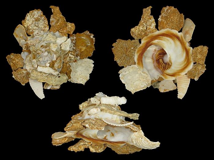 Xenophora (Xenophora) neozelanica kermadecensis