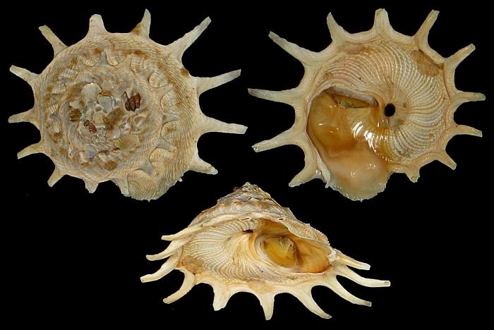 Stellaria solaris paucispinosa