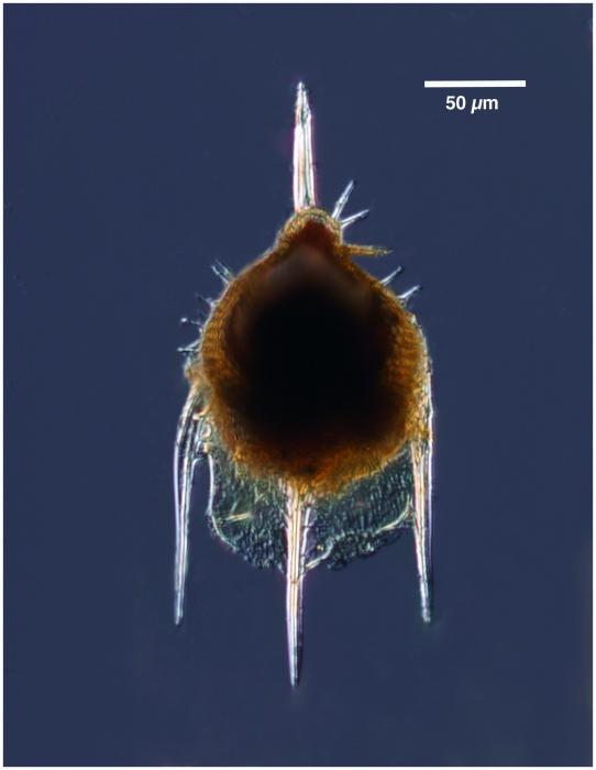 Pterocanium praetextum (Ehrenberg 1872)