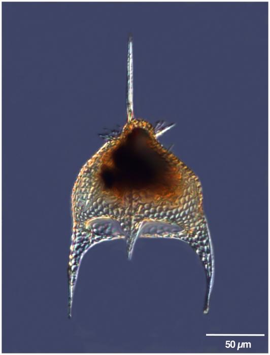Pterocanium charybdeum (Müller 1858)
