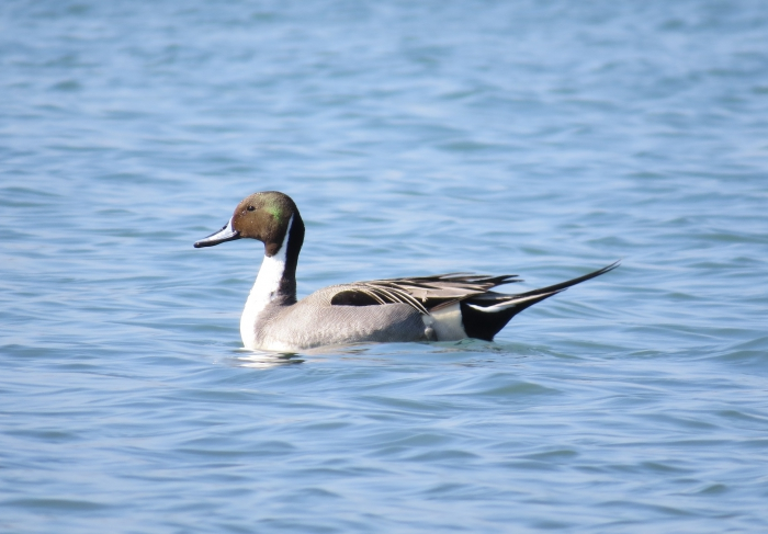 Pintail (Anas acuta), male