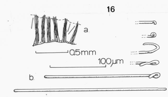 Batzella rosea