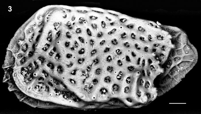 Holotype Left valve