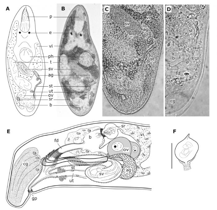 Brunetorhynchus canariensis