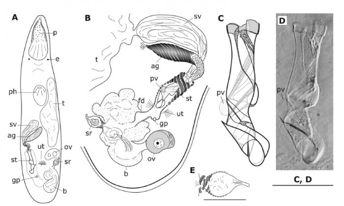 Brunetorhynchus complicatus