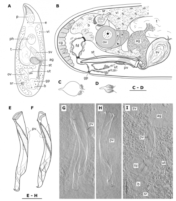 Brunetorhynchus deconincki