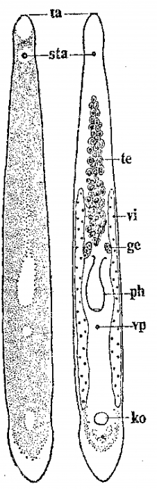 Monocelis colpotriplicis