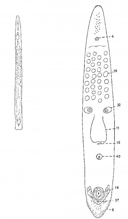 Monocelis hopkinsi