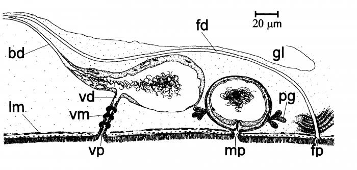 Monocelis mediterranea