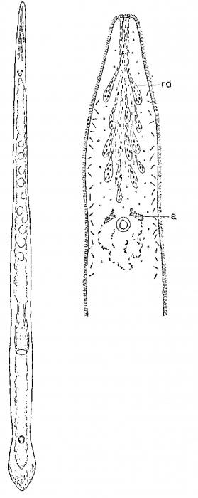 Monocelis oculifera