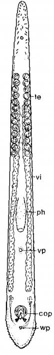 Monocelis spectator