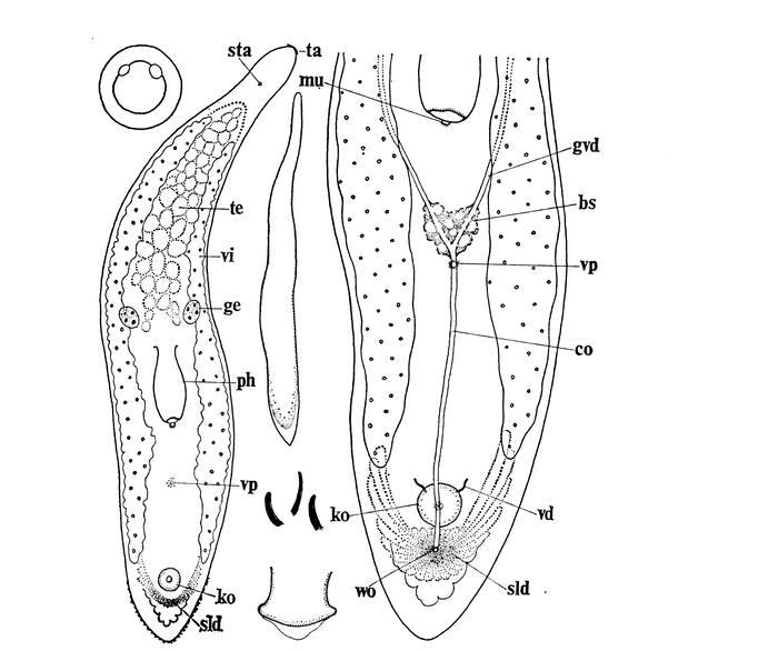 Monocelis tenella