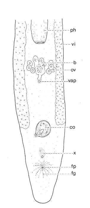 Pseudomonocelis cavernicola