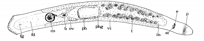 Pseudomonocelis schockaerti