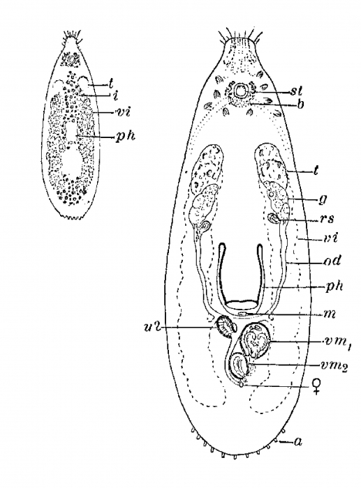 Globuliphora rufifrons