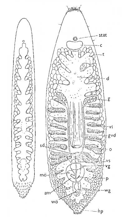 Paramontus hamatus