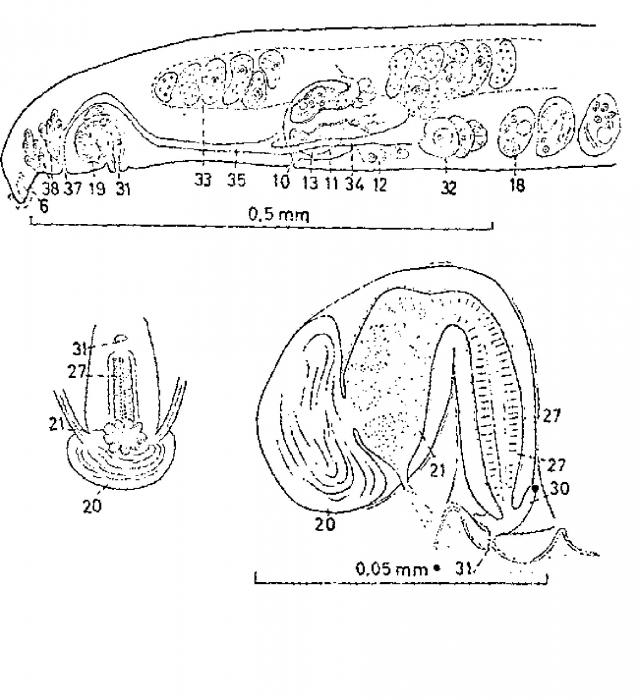 Promonotus orthocirrus