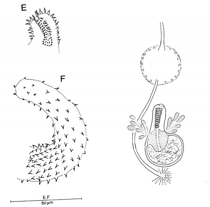 Promonotus sphaerobursa