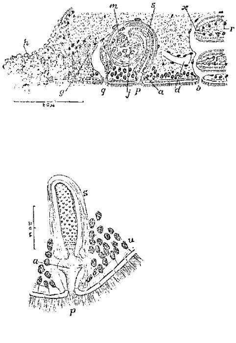 Promonotus villacea
