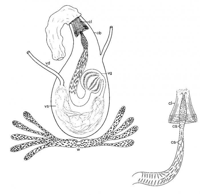 Promonotus wilsoni