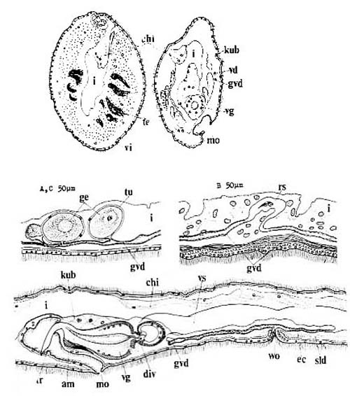Ezoplana oxygona