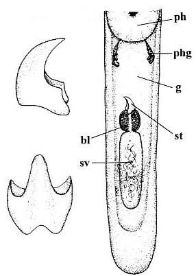 Nematoplana calamus