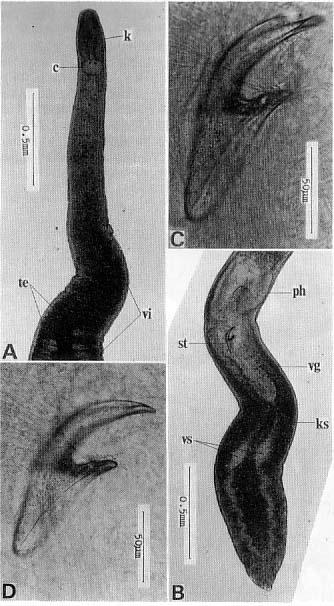 Nematoplana ciliovesiculae