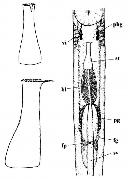 Nematoplana martensi