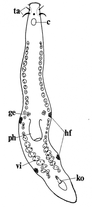 Itaspiella macrostylifera