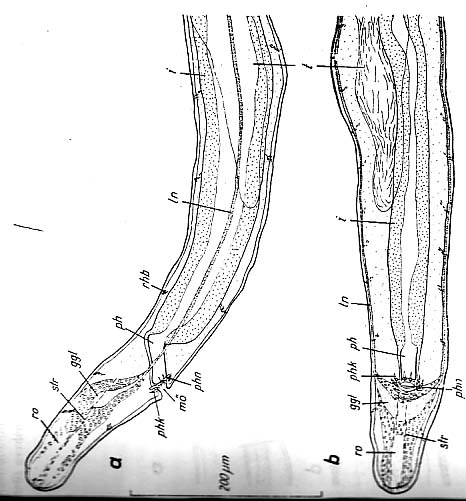 Bermudorhynchus sterreri