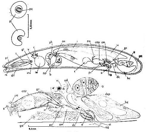 Phonorhynchus helgolandicus